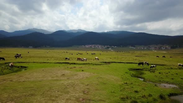 Grassing Cows Beautiful Tranquil Green Land Forest Mountains Drone View
