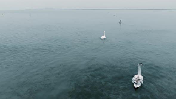 Schwäne schwimmen in ihrer natürlichen Umgebung auf dem Wasser