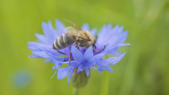 Close-up of Wild Bee Sitting on the Beautiful Blue Cornflower. The Flower Is Pollinated By a Bee