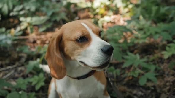 Thumbnail for Funny Beagle Dog Close Up Portrait Closeup Face Happy, Dog Walking Sitting Service