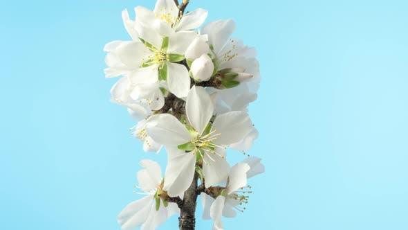 Thumbnail for Almond Blossom Timelapse on Blue
