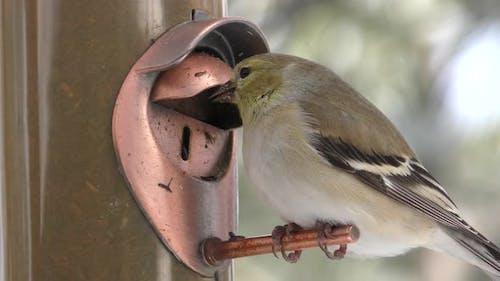 Goldfinch Adult Lone Eating Feeding in Winter Birdfeeder Feeder Thistle Niger Seed