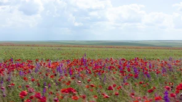 Field of red wild  poppy flowers. Red poppy flowers blooming in green spring wheat field.