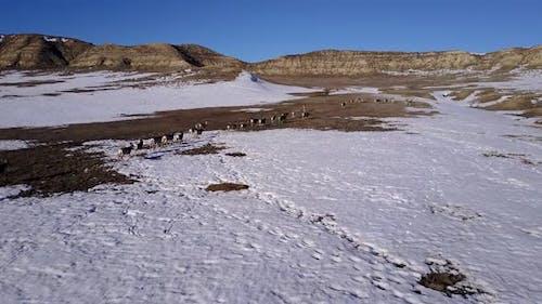 Mule Deer Adult Immature Herd Many Walking Moving in Winter in Wyoming