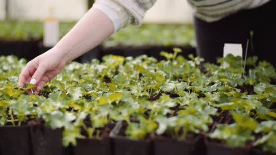 Thumbnail for Agriculture - Female Gardener Examining Flower Seedlings