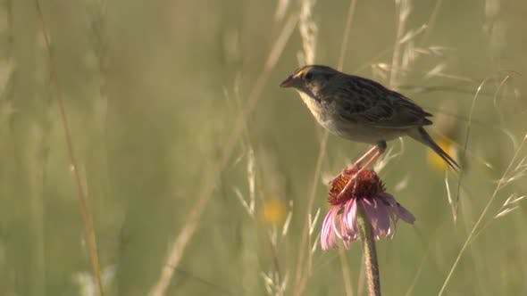 Thumbnail for Grasshopper Sparrow Perched on Purple Coneflower Prairie Wildflower then Flying