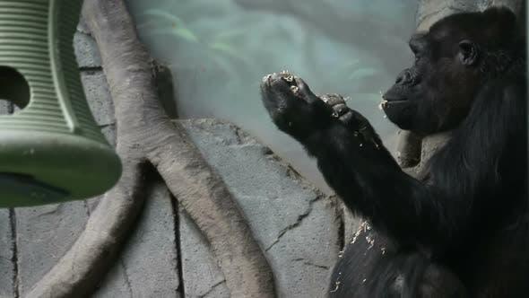 Plain Gorilla Eats Delicious