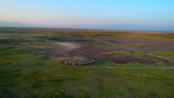 Cover Image for Aerial View Sheep Herd