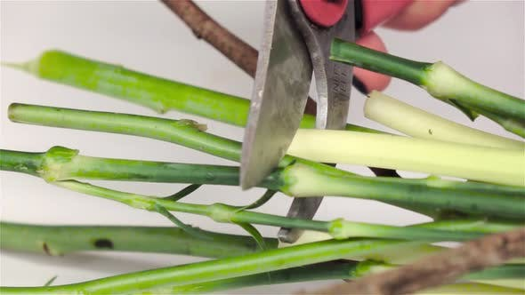 Thumbnail for Cutting Flower Stems. White. Slow Motion. Close Up