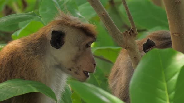 Macaques Enjoy Sitting and Eating Fruits Among Tree Leaves