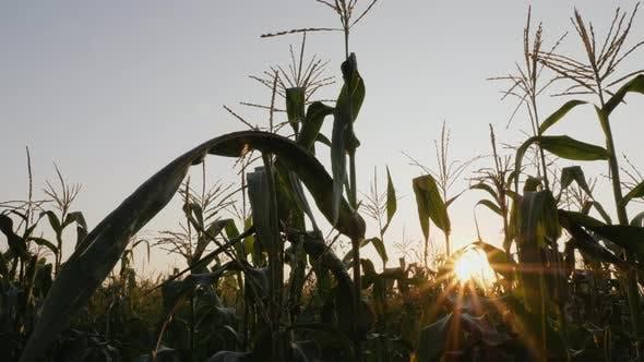Corn Field with Sunbeams