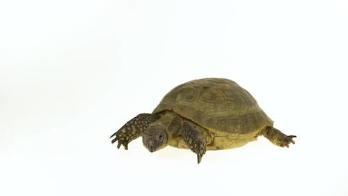Turtle Isolated on a White Background at Studio.
