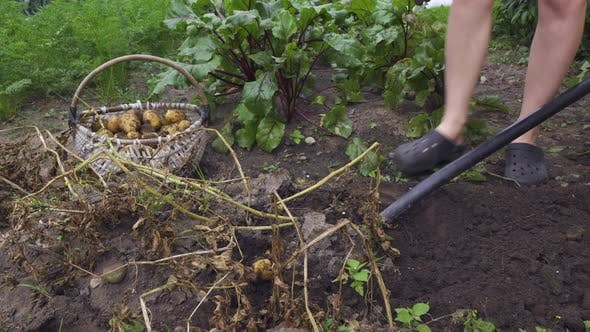 Thumbnail for Harvesting Potatoes. Gardener Woman is Digging Vegetable Crop