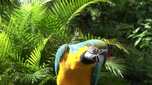Blue and Yellow Parrot (Macaw ). Wildlife scene from tropical forest. Closeup shoot.