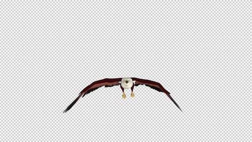 Brahminy Kite - Flying Loop - Front View