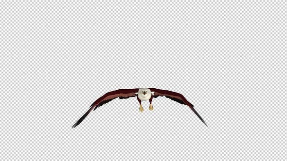 Brahminy Kite - Flying Loop - Front View
