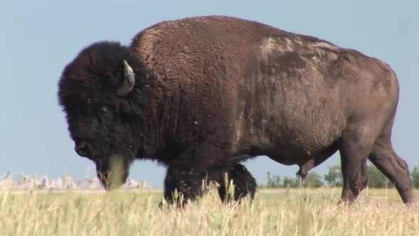 Thumbnail for Bison Male Adult Lone Walking Moving in Summer in South Dakota