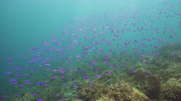 Cover Image for Coral Reef and Tropical Fish. Camiguin, Philippines