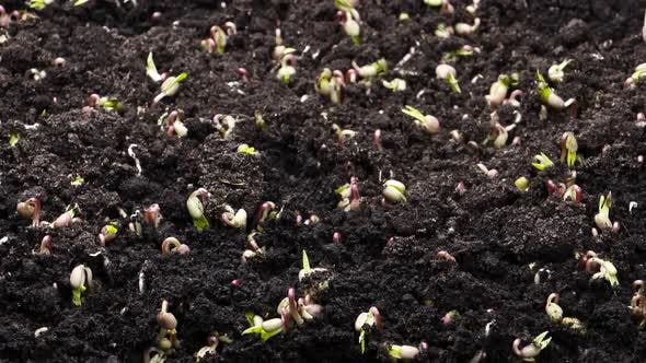 Plant Growing in Timelapse, Sprouts Germination Green Bean, Spring and Summer Agriculture