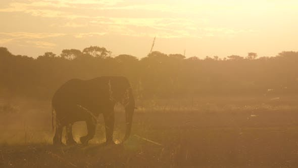 Thumbnail for African Bush elephants walks on a dry savanna during sunset