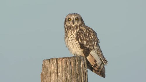 Short-eared Owl Adult Lone Alarmed Spooked Frightened Flying in Winter Fencepost