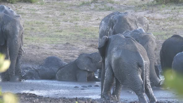 Thumbnail for Herd of African Bush elephants enjoying a good mud bath