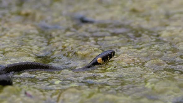 Dice Snake Swims Through Marshes of Swamp Thickets and Algae. Slow Motion.