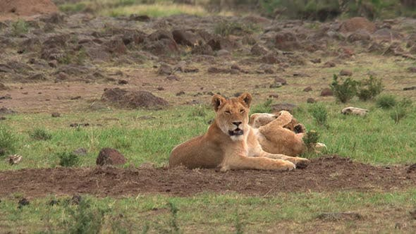 Thumbnail for Pride of Lions resting on the savanna