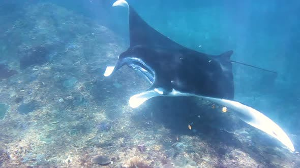 Manta Ray swims in indian ocean, wildlife