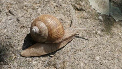 Slow motion Roman or Burgundy snail close-up  1080p FullHD footage - Helix pomatia escargot  slow-mo