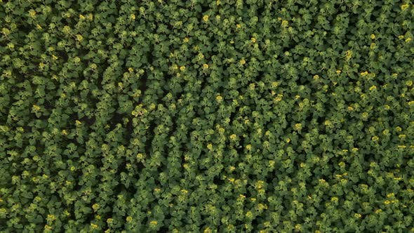 Aerial View of Sunflowers Field, Drone Moving Across Yellow Field of Sunflowers, Rows of Sunflowers