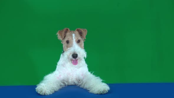 Thumbnail for Fox Terrier Sits at the Blue Table, Holding a Blank Placard Ready for Your Text or Product