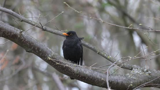 Thumbnail for Male of Common blackbird in nature