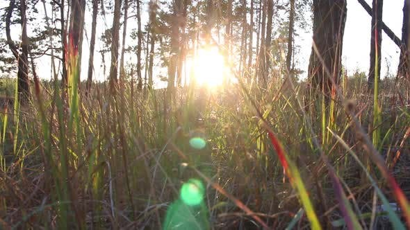 Thumbnail for Grass In The Forest At Sunset