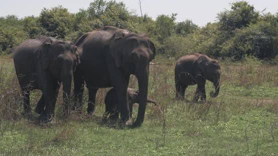 Thumbnail for Close Up of Elephant Family with a Newborn Baby Elephant in a National Park of Sri Lanka