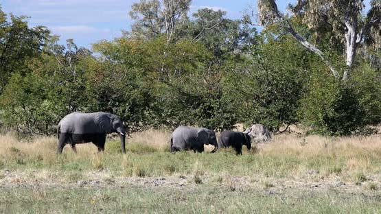 Wild African Elephant babies in Botswana, Africa