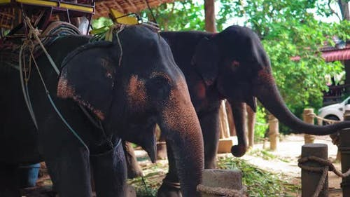 elephant farm in Asia, a tour of tourists on elephants through the jungle. travels
