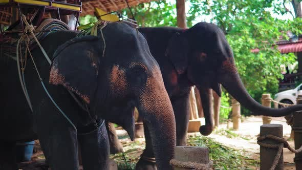 Thumbnail for elephant farm in Asia, a tour of tourists on elephants through the jungle. travels