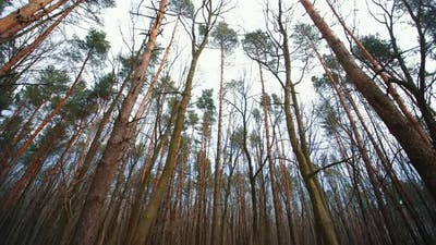 Pine Trees in a Cloudy Forest