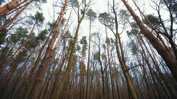 Kiefern in einem bewölkten Wald
