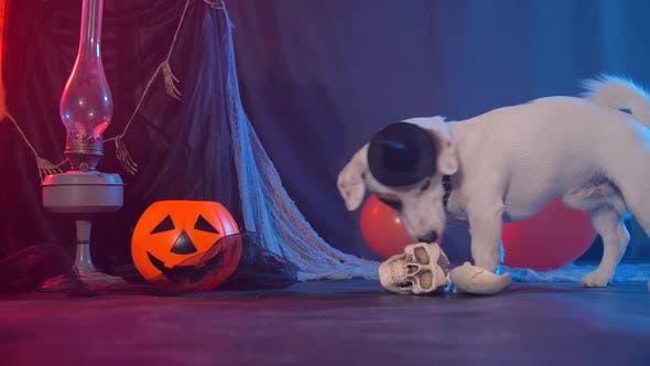 Thumbnail for Halloween Celebration Concept. Funny Dog Eating From Fake Halloween Skulls