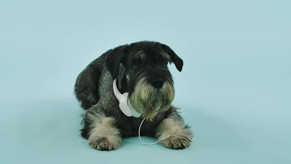 Front View of a Mittelschnauzer Lying with White Headphones Around His Neck in the Studio on a