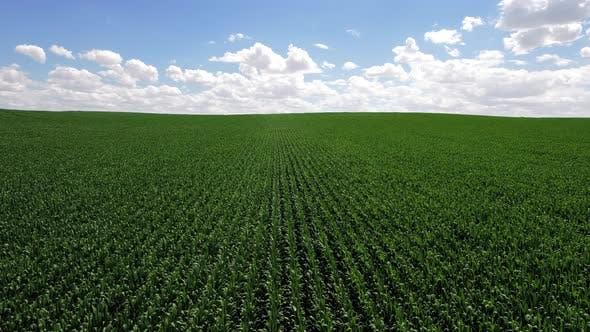 Thumbnail for Field Corn
