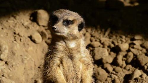 Cute Meerkat Suricate Face Looking Around
