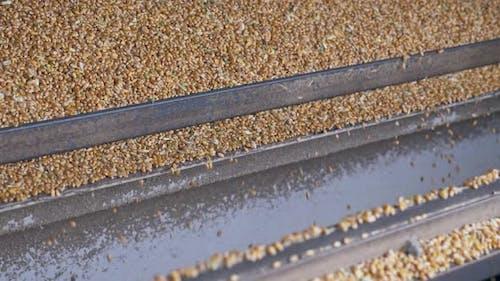 Machinery Harvesting Process of Corn Kernel Grains