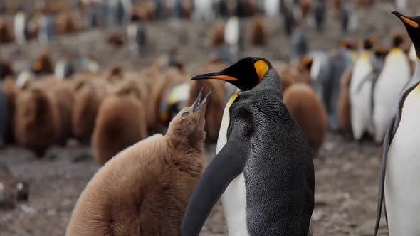 Thumbnail for King Penguins On South Georgia Island