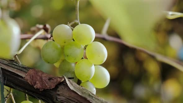 The Grapes of Green Grapes Ripen on the Vine, Rays of the Sun. Close Up V2