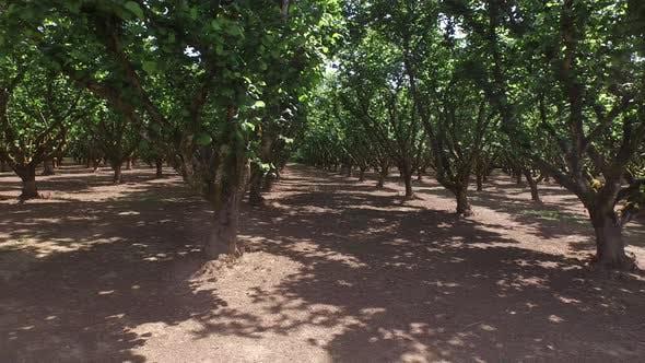Thumbnail for Hazelnut orchard