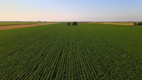 Thumbnail for Green Soybean Field