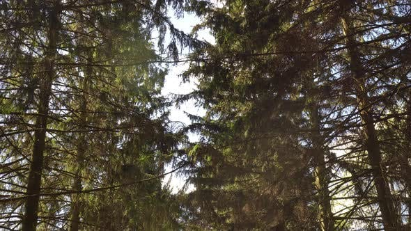 Spruce In The Forest